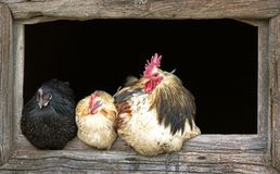 Haan en slaperige kippen Stock Foto's
