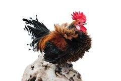 Haan in het kippenhuis op een witte achtergrond wordt geïsoleerd die Stock Afbeelding