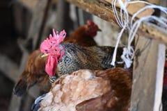Haan, kippen binnen het oude landbouw bulding royalty-vrije stock foto's
