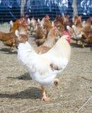 Haan, kippen in een kippenkippenren Royalty-vrije Stock Foto's