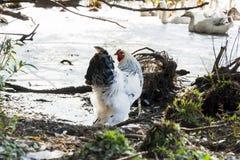 Haan van een gevogeltelandbouwbedrijf Royalty-vrije Stock Foto's