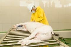 Haar-Abbau vom Schweineschlachtkörper Stockbild
