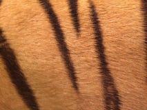 Haar des Tigerkörpers Lizenzfreie Stockfotografie