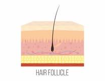 Haarfollikel Menselijke huidlagen met binnen haarfollikel vector illustratie