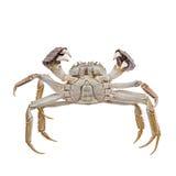 Haarige Krabben angehobene Greifer lokalisiert auf Weiß Stockbilder
