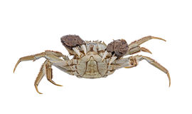 Haarige Krabben angehobene Greifer lokalisiert auf Weiß Lizenzfreie Stockbilder