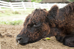 Haarige Kuh Stockbild