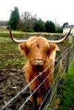 Haarige Kuh stockfotografie