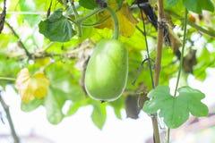 Haarige Melone Lizenzfreies Stockbild