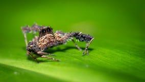 Haarige Spinne auf grünem Blatt lizenzfreie stockfotos