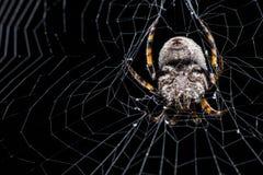 Haarige Spinne und sein Netz Stockbild