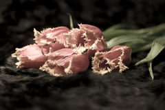 Haarige Tulpen gefaltet Lizenzfreies Stockbild