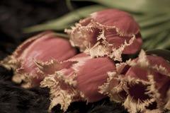 Haarige Tulpen gefaltet Stockfotos