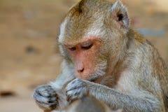 Haariger Affe Browns, der mit der anderen Afferückseite spielt Stockfoto