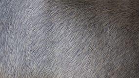 Haariger Büffel Stockbilder