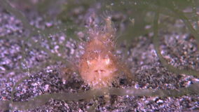 Haariger Frogfish stock video footage