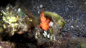 Haariger Frogfish Antennarius-striatus Jugendlicher auf dem schwarzen Sand in der Nacht in Lembeh-Straße stock footage