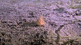 Haariger Frogfish auf sandiger Unterseite stock video
