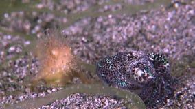 Haariger Frogfish mit einem Bobtail Kalmar stock footage