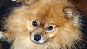 Haariger Hund Lizenzfreies Stockfoto