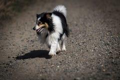 Haariger kleiner Schwarzweiss-Collie wirft einen Schatten auf einem sonnen-glühenden Weg stockfotos
