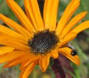 Haariger Wurm auf einem orange Gänseblümchen Lizenzfreies Stockfoto