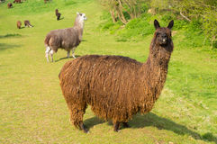 Haariges Alpaka mit dem braunen langen Mantel, der auf einem grünen Gebiet mit anderen Alpakas im Hintergrund steht Stockbild