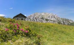 Haariges Alpenrose mit alter Steinhütte und Berg Gartnerkofel stockbilder