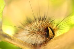 Haariges Caterpillar Stockfoto