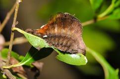 Haariges Caterpillar Stockfoto