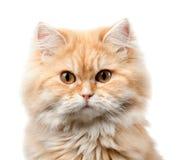 Haariges Katzenporträt der Rothaarigen Lizenzfreie Stockfotografie