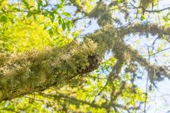 Haariges Moos oder Flechte, die unter einen Baumast wachsen lizenzfreies stockfoto