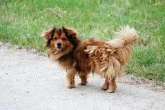Haariges nettes weißes dogg Lizenzfreies Stockbild