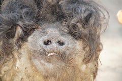 haariges Schwein in den wild lebenden Tieren Lizenzfreie Stockbilder