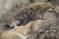 Haarzeit mit Timberwolf und Welpen Lizenzfreies Stockbild