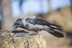 El cuervo encapuchado, cornix del corvus, come nueces Foto de archivo