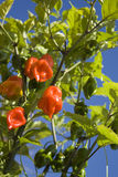 Habanero chili plant. The habanero chili (Capsicum chinense) is one of the most intensely spicy species of chili peppers of the Capsicum genus Royalty Free Stock Images