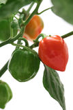 Habanero chilli peppers Royalty Free Stock Photo