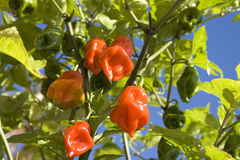 Habanero chillies growing on bush. The habanero chili (Capsicum chinense) is one of the most intensely spicy species of chili peppers of the Capsicum genus Royalty Free Stock Image