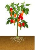 Habanero pepper plant Stock Photo