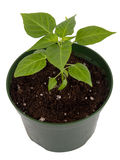 Habanero pepper potted plant isolated Royalty Free Stock Image