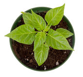 Habanero pepper potted plant isolated Royalty Free Stock Photography