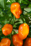 Habanero Peppers (Capsicum Chinense) Stock Photography