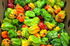 Habanero Peppers Stock Images