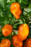 Habanero Peppers (spanischer Pfeffer Chinense) Stockfotografie