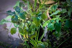Habanero. Plant of habanero Royalty Free Stock Photo