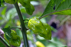 Habanero plant Royalty Free Stock Images