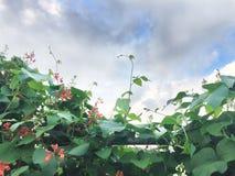 Habas blancas rojas florecientes en el jardín Fotos de archivo