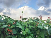 Habas blancas rojas florecientes en el jardín Imágenes de archivo libres de regalías