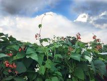 Habas blancas rojas florecientes en el jardín Imagenes de archivo